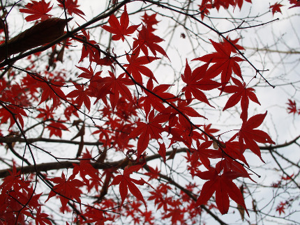 Close-up of red autumn leaves of the Japanses maple